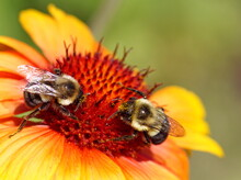 Close Up Of Two Bumblebees Feeding On An Orange And Yellow Gaillardia Flower