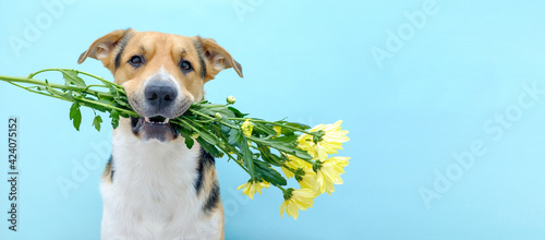 Close up of a dog holding a flower bouquet of chrysanthemum in its teeth on the blue background Fototapet