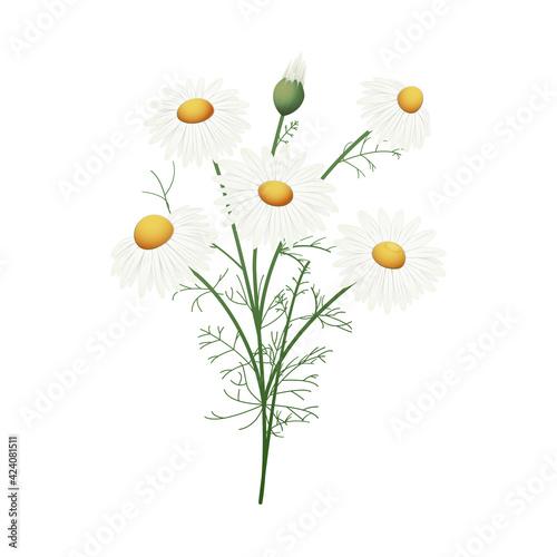 Fototapeta Rumianek. Kompozycja botaniczna złożona z kwiatów, pąków i liści rumianku na białym tle. obraz