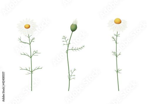 Fototapeta Rumianek. Zestaw 3 kwiatów ręcznie rysowanych na białym tle. obraz