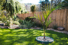 Small Bangalow Palm Tree In Idyllic Sunny Backyard With Sun Rays Shinging Over Lots Of Plants And Flowers