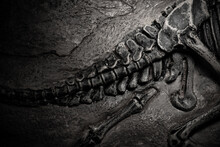 Top View Dinosaur Skeleton Fossil Of The Tail Part With Details