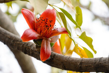 Blooming Bombax Ceiba Or Red Cotton Close Up