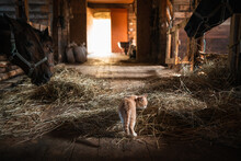 A Curious Little Red Kitten Has Entered The Stable On The Farm And Is Looking At The Horses