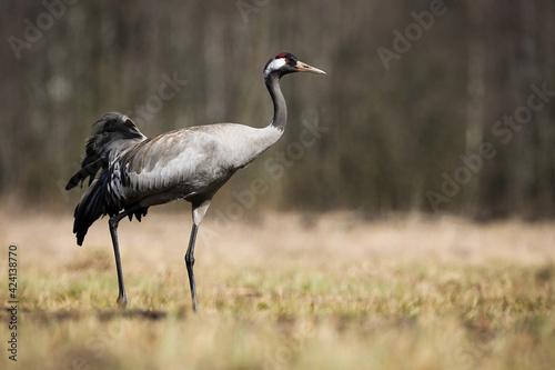 Fototapeta premium Common crane walking on meadow with dry grass in springtime nature