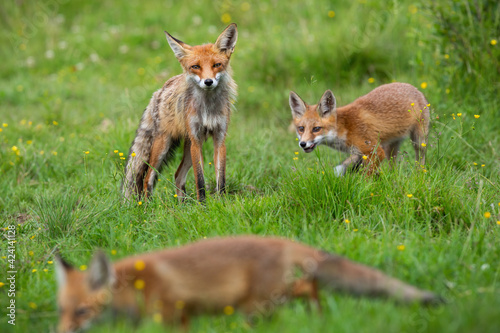 Fototapeta premium Little red fox with mother playing on flower glade