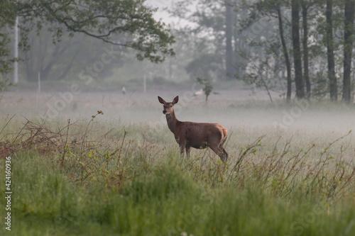 Fototapeta Łania jelenia szlachetnego Cervus elaphus elaphus chce przejść przez drogę obraz