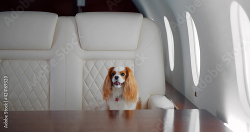 Small dog cocker spaniel on board of luxurious plane