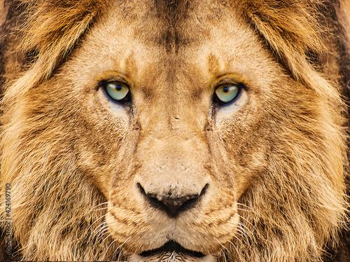 Fotografia close up of a lion looking at camera