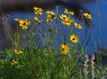 Leavenworth's Tickseed (Coreopsis Leavenworthii) Florida State Wild Flower, Tickseed, Bright Yellow Petals, Blue Water Bokeh Background,