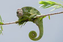 Fischer Chameleon Hanging On A Tree