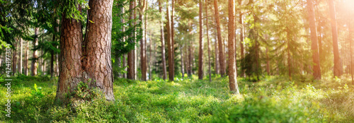 Beautiful pine forest panorama in the summer morning.