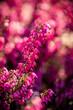 wrzośce różowe, purpurowe i białe w ogrodzie