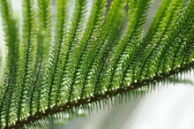 Close Up Of A Norfolk Island Pine Branch Against A White Ground