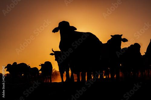 Pecuária no Oeste da Bahia Fototapet