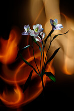 Alstroemeria Colored By Light And Improvisation By Multicolored Light  On A Black Background.