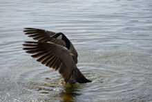 Canada Goose Flaps Its Wings Forward In A Lake