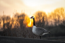 Beautiful Canadian Goose Standing Near Lake At Sunset During Golden Hour Sunshine Sun Light Shining Through Trees At Nature Reserve Reservoir. Reflection Of Geese In Wetland.