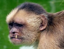 Portrait Of A Capuchins Are New World Monkeys Of The Subfamily Colobinae.