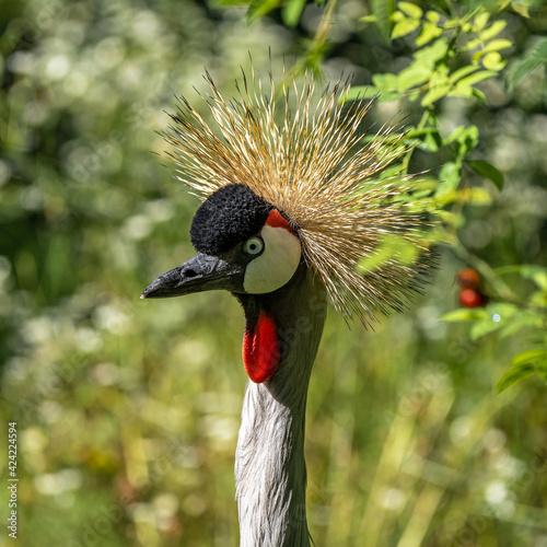 Fototapeta premium Black Crowned Crane, Balearica pavonina in a park