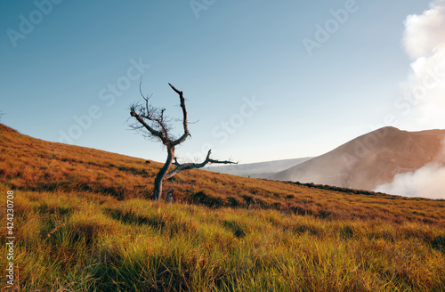 Fototapeta Minimalist horizontal photo of a dry tree in the middle of the grass next to the santiago crater in the masaya volcano national park