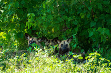 Painted Dog In The Forest