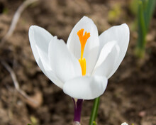 One Of The First Flowers In A Spring Garden Is A White Crocus Flower With A Bright Orange Pistil.