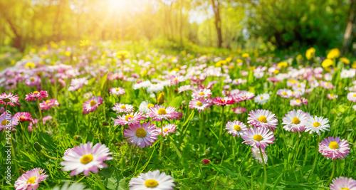 Billede på lærred Meadow with lots of pink spring daisy flowers