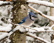 Blue Jay Photo. Perched on a branch in the winter season with falling snow and a blur background in its enviromnent and habitat displaying blue and white feathers. Image. Picture. Portrait.