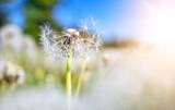 Fototapeta Kawa jest smaczna - Meadow with lots dandelions in sunny day.