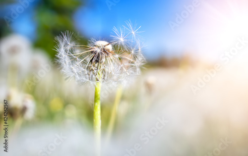Meadow with lots dandelions in sunny day.