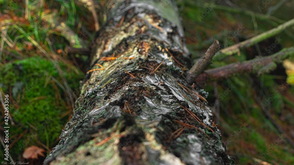 Fototapeta piękny konar drzewa brzoza