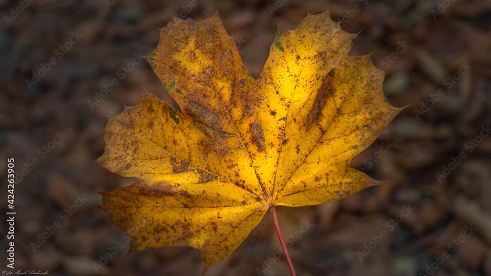 Fototapeta piękny jesienny liść klonu