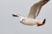 Close-up Of The Black-headed Gull Chroicocephalus Ridibundus In Flight During The Winter Season