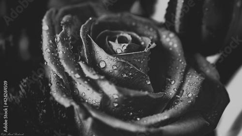 piękny czarnobiały pąk róży