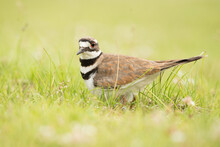 Killdeer In The Grass With A Blurred Background And Foreground.