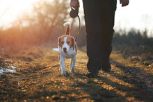 """Dog Training """"heel"""" Command. Cute Beagle Dog On Retractable Leash Walking Directly Next To Owner Against Scenic Sunset Background"""