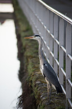 Portrait Of Heron Standing In Border Water In The City