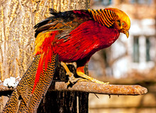 Vividly Colored Golden Pheasant On A Branch.