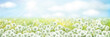 Vector white dandelions meadow.  Spring nature background.