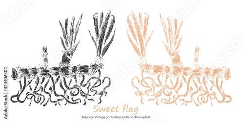 Fotografie, Obraz Sweet flag Botanical Vintage print of Calamus common lyre rootvector hand drawn