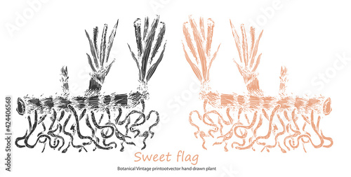 Obraz na plátně Sweet flag Botanical Vintage print of Calamus common lyre rootvector hand drawn