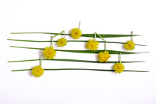 Dandelion Flowers Like Musical Notes On Leaves Of Grass Lay Down On White Background. Flat Lay Abstract Minimal Spring Concept