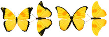 Beautiful Yellow Butterflies Isolated On White Background. Four Tropical Moths.
