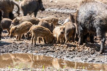 Der Erlebnis Wald Trappenkamp bietet auf mehr als 100 Hektar Wildgehege und Erlebnispfade ein einmaliges Naturerlebnis, hier eine Rotte Wildschweine