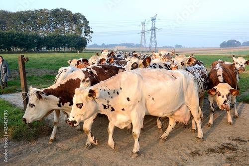 Fototapeta Rentrée de vaches normandes pour le traite