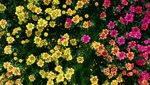 Multicolored Flower Background. Floral Wallpaper With Pink And Yellow Roses. 3D Render