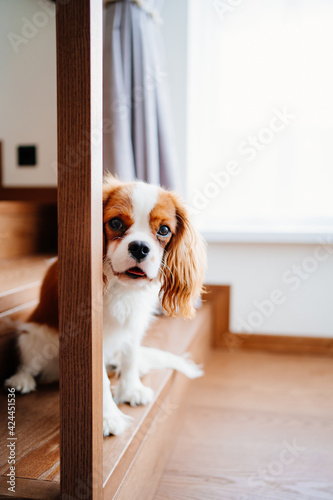 Cavalier King Charles Spaniel - a breed of companion dogs on the step of stairs Fototapete