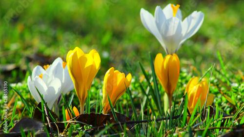 kwitnące kolorowe krokusy wiosną