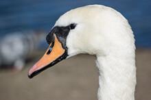 Head Of A Wild Swan